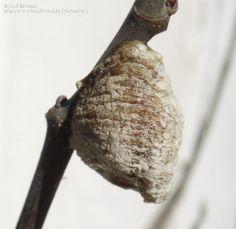 """Nombre científico: Mantidae Burmeister, 1838, Descripción: Evidentemente, se trata de la ooteca de una mantis. He visto de estos tbn. en las ramitas de los olivos. Lo niños les llamábamos """"viernes"""". José Biedma L."""