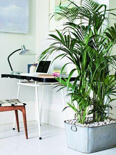 kentia palme exotisch und popul r pflanzen und blumen pinterest pflanzen und blumen. Black Bedroom Furniture Sets. Home Design Ideas