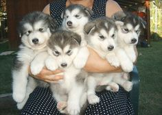 Husky puppies http://friendmodes.blogspot.com/2015/02/dogs_11.html