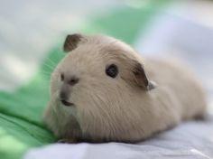guinea pig . . .so cute!