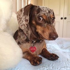 """Visit our internet site for additional details on """"dachshund puppies"""". It is actually an outstanding area to learn more. Dachshund Breed, Dapple Dachshund, Dachshund Love, Daschund, Miniature Dachshunds, Weenie Dogs, Doggies, Most Popular Dog Breeds, I Love Dogs"""