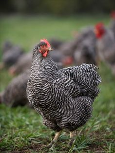 plymouth rock chicken breed