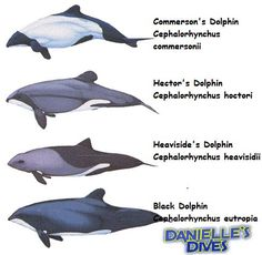 dolphins types - Yahoo Image Search Results