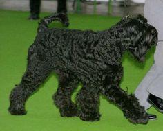 ブラックロシアンテリア(Black Russian Terrier)