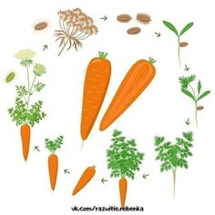 Montessori Activities, Toddler Activities, Tree Life Cycle, How To Plant Carrots, Living And Nonliving, Plant Growth, Autumn Activities, Kids Corner, Life Cycles