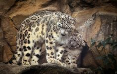 Snow Leopard Mother with Cub Leopard Cub, Snow Leopard, Wild Creatures, All Gods Creatures, Big Cats, Cool Cats, Kinds Of Cats, Rare Animals, Unusual Animals