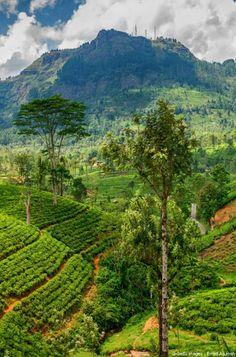 Si l'Inde est le premier producteur de thé au monde, le Sri Lanka n'a pas dit son dernier mot. C'est sur les hauteurs de cette île, bercée par les eaux de l'océan Indien, qu'est cultivé l'un des meilleurs au monde : le thé Ceylan.