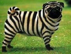 Striped pug anyone? Striped pug anyone? German scientists have succeeded in transplanting a key gene that codes for the zebra's stripes into a dog - to p. Funny Dogs, Funny Animals, Cute Animals, Weird Dogs, Beagle Funny, Animals Dog, Pug Pictures, Dog Photos, Baby Pugs