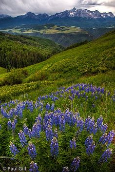 Lupines in the San Juan Mountains off Dollar Road, Uncompahgre National Forest, Colorado
