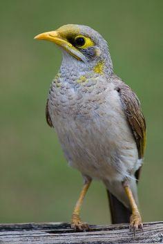 Yellow-throated Miner, native to Australia.