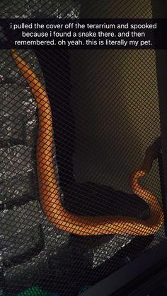 akihiko banana pinstripe ball python snek noodle good snek