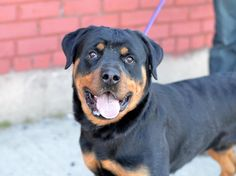 Brooklyn Center ZICO - A1031404 ***SAFER : NEW HOPE RESCUE ONLY*** MALE, BLACK / BROWN, ROTTWEILER MIX, 1 yr, 3 mos OWNER SUR - EVALUATE, NO HOLD Reason PERS PROB Intake condition EXAM REQ Intake Date 03/26/2015 Main Thread: https://www.facebook.com/photo.php?fbid=985291184817094
