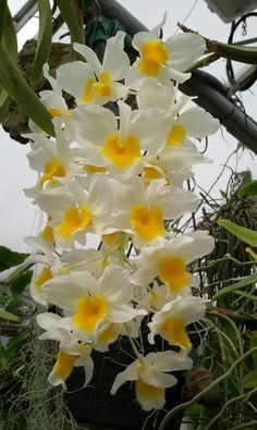 Beautiful Flowers, Cattleya, Flower Garden, Trees To Plant, Orchids, Love Flowers, Bonsai Tree Types, Hanging Orchid, Planting Flowers