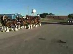 A short,but rare,look at the Budweiser Clydesdales at practice, doing their famous sidestep.