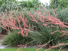 This plant (Hesperaloe parviflora), called Red Tipped Yucca, or Red Yucca, is on of the best drought tolerant plants for central and west Texas. Its leaves stay green all year but the blooms and their stalks dry out and need to be pruned. This is great anywhere, but especially on the easement because it is such a full plant as well as colorful.