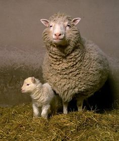 Dolly the sheep was the first mammal to be cloned from the DNA of an adult. Here she is with her first-born lamb, Bonnie.