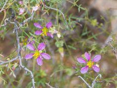 What:California fagonbush, Fagonia laevis Where:White Tank Mountain Regional Park  When:3-11-2015 Photo by:Karen Martin