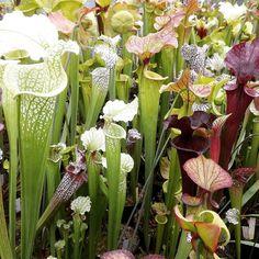 #flowers #love #field #exoticplants #nature #agaves #cute #sarraceniacrazy #carnivore #happy #carnivorousplant #beautiful #selfie #enjoy #plant #carnivorousplants #gay #smile #tropicalplants #friends #plants #fun #beauty #garden #like #killers #flower #style #amazing #sarracenia by benobdx