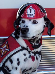 Sparkles the Fire Safety Dog, a dalmatian rescued from a home with 62 other dogs Dog Safety, Fire Safety, Safety Tips, Dalmatian Rescue, Baby Animals, Cute Animals, Animal Heros, Dog Houses, House Dog