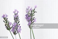 ストックフォト : Lavender