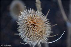 DSC_0313, via Flickr. My photography. Photography Photos, Dandelion, Flowers, Plants, Dandelions, Plant, Taraxacum Officinale, Royal Icing Flowers, Flower