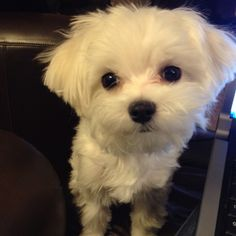 Maltese and Children: Is It a Good Combination - Champion Dogs Havanese Puppies, Maltese Dogs, Cute Puppies, Cute Dogs, Dogs And Puppies, Doggies, Maltipoo, Teacup Maltese, Teacup Puppies
