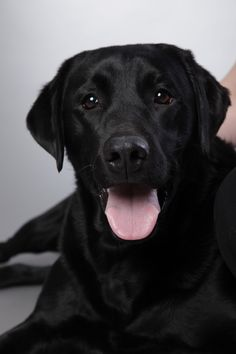 Mind Blowing Facts About Labrador Retrievers And Ideas. Amazing Facts About Labrador Retrievers And Ideas. Labrador Retrievers, Black Labrador Retriever, Retriever Puppy, Golden Retriever, Black Lab Puppies, Dogs And Puppies, Labrador Puppies, Black Labs Dogs, Morkie Puppies