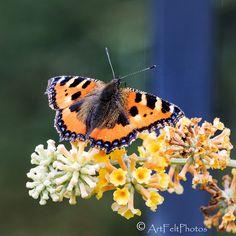 https://flic.kr/p/QdKRX8   9360-small tortoiseshell butterfly