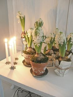 white hyacinths in terra cotta pots with moss
