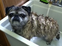 Pug bath time.  So sad!