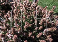 Abelia_chinensis : un arbuste adorable : merveilleux parfum, croissance lente, pas besoin de taille (1m50 chez moi pour l'instant ), planté en avril 2012. … Floraison tout l'été jusqu'en novembre. Joli même quand les fleurs sont fanées. Une valeur sûre. Planté au soleil.