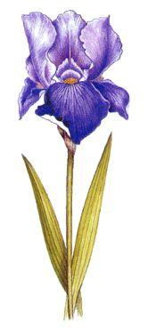 Operagastro > Ricette coi fiori: Frittata dolce di iris.