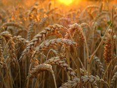 Wheat in golden Evening Light - The last rays of sun bathed the wheat field in magical light ... Fellbach (Region Stuttgart), Germany
