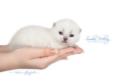 Simba Iceberg Flo, blue point Scottish Fold