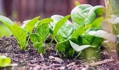 Growing organic spinach is easy! Learn how to grow spinach in your garden so you can grow this cool-weather crop year-round! Fast Growing Vegetables, Root Vegetables, Spinach Health Benefits, Growing Spinach, Comment Planter, Grow Organic, Grow Your Own Food, Plantation, Sustainable Living