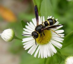 Southern Yellowjacket ( Vespula squamosa )   © 2007 Beatriz Moisset     Most people I talk to express an inordinate hatred for wasps. Th...