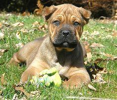 Roman Cane Corso Cane Corso Breeders, Cane Corso Mastiff, Cane Corso Puppies, Italian Cane Corso, Kane Korso, Kinds Of Dogs, Puppys, Mans Best Friend, Puppy Love