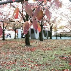 白山公園。新潟市内も見頃です。 #東亜和裁#東亜和裁紅葉まつり2016#toawasai#白山公園#紅葉