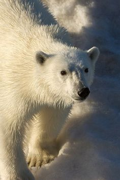 Polar bear on southeatern Svalbard ice near Edgoya. (Ursus maritimus)     I love Polar bears would like to photograph them.Please check out my website Thanks  www.photopix.co.nz