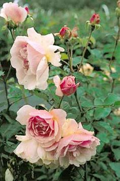 Felicia    1928    Fully double flowers of apricot pink fading to cream grace this medium-sized shrub or pillar rose. Felicia is very generous with her blooms which have one of the most intense fragrances in its class, making it an excellent cut flower. The moderate size allows it to be grown in a large container or planted as a specimen in a more restricted area.   scent is wonderful