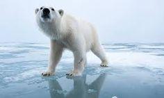 Myndaniðurstaða fyrir famous polar bear