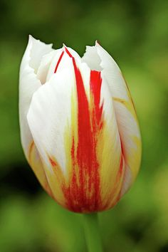 Happy Generation Tulip, a festive white tulip with red flames and a hint of yellow, available as a fine art print or on products, world wide shipping #art #photography #tulips #springflowers #bulbs #spring #garden #flowerart