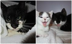 The Save Cats & Obliterate OverPopulation, Inc. (SCOOP) rescue in Cincinnati, Ohio received into their care a tuxedo kitty who was barely clinging on to life. Rescue workers tried for a week to catch the injured kitty, who was in their feral …
