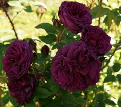 Deep Purple Black Boy Kordes Rose