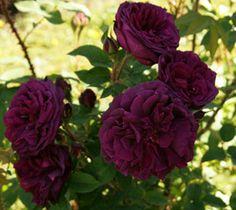 Deep Purple Black Boy Kordes Rose