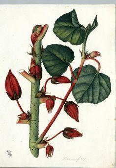 Hibiscus ferox. Proyecto de digitalización de los dibujos de la Real Expedición Botánica del Nuevo Reino de Granada (1783-1816), dirigida por José Celestino Mutis: www.rjb.csic.es/icones/mutis. Real Jardín Botánico-CSIC.