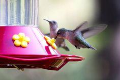If you avoid these top 10 bird feeding mistakes you will easily attract many hungry birds to your feeders. Ponds Backyard, Backyard Birds, Bird Facts, How To Attract Birds, Bird Feeders, Diy Projects, Hummingbirds, Mistakes, Wildlife