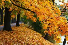 Árboles que se visten de gala en otoño - http://www.jardineriaon.com/arboles-que-se-visten-de-gala-en-otono.html