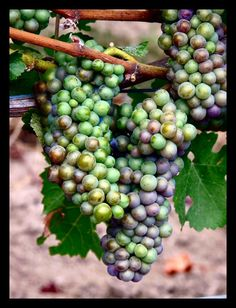 Photo of Wine Grapes on the vine - Central California wineries and vineyards