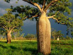 Kimberly, Australia. Boab Trees